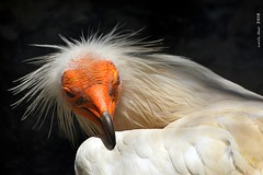 Aufrany - Alimoche (2)* (Enllasez - Enric LLaó) Tags: aves aus bird birds ocells pájaros 2018 cimdáguiles rapaces rapinyaires aufrany