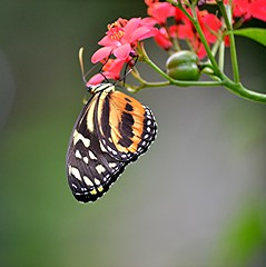 Heliconius hecale hanging on red flowers and bulging seeds