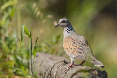 Tourterelle des bois Streptopelia turtur - European Turtle Dove (Julien Ruiz) Tags: tourterelle des bois streptopelia turtur european turtle dove
