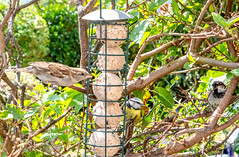 Who's watching who? - Garden Visitors to the Feeders (2.2 mil views - Thank you all.) Tags: johnstown wales unitedkingdom gb stanleyeastwood staneastwood birds garden feeder woodpecker bluetit starling camouflage