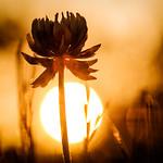 Sunset Clover thumbnail