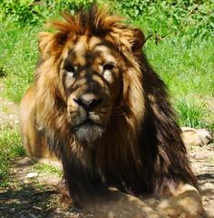 The Lion (morganesvt) Tags: lion king simba besançon zoo citadelle