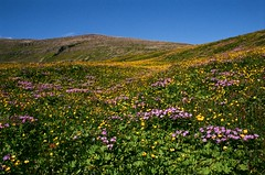 Bloom (IggyRox) Tags: iceland island scandinavia hornstrandir westfjords northwestconstituency isafjardarbaer vestfirdir mountains nature beauty film 35mm nordurisafjardarsysla flowers bloom morning colors green purple yellow up rolling blue sky clear lovely fresh horn