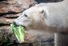 A Beary Healthy Snack (helenehoffman) Tags: arctic bear wildlife conservationstatusvulnerable sandiegozoo mammal fish ursusmaritimus ursidae tatqiq polarbear polarbearplunge marinemammal animal