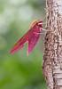 Elephant Hawk-moth (Deilephila elpenor) (markhortonphotography) Tags: deepcut mothtrap deilephilaelpenor wildlife tree nature surreyheath macro surrey insect bark elephanthawkmoth invertebrate