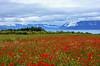 Paysage de printemps (Diegojack) Tags: tolochenaz vaud suisse d7200 paysages léman lac montagnes champs fleurs coquelicots prairie printemps groupenuagesetciel