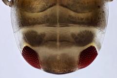 Plea minutissima nymph (?) (mr.sansibar) Tags: jansjö heteroptera aquatic arthropoda insect planapo nymph focusstacking olympusbh2 photomicrography microscopy heliconfocus larva polarizedlight notonecta waterboatman