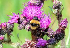 Abeille faisant le plein :-) (Jean-Daniel David) Tags: insecte insectevolant abeille fleur chardon bokeh vert mauve jaune noir grosplan closeup nature réservenaturelle grandecariçaie yverdonlesbains cheseauxnoreaz suisse suisseromande vaud