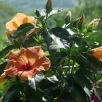 Au jardin, hibiscus rose de Chine (Hibiscus rosa-sinensis), Bosdarros, Béarn, Pyrénées Atlantiques, Aquitaine, France. thumbnail