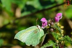 RRR03050-20 de mayo de 2018 (Tres-R) Tags: comarcadepontevedra galicia españa es carballedo pontevedra mariposa macro macrobiologia butterfly tresr rodolforamallo sonyrx10iii naturaleza nature