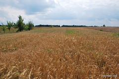Пшениця, жито, овес InterNetri  Ukraine 049