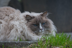 Fluff and Tumble (JeffMoreau) Tags: caturday cat cats kitty kitties feline sony a7ii master lens reykjavik iceland 200mm bokeh