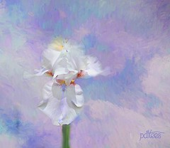 Painted Iris for a dear friend. (Patlees) Tags: iris painted birthday friend cindy texturebyalan