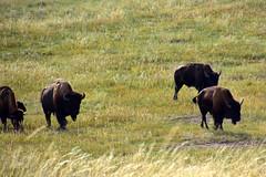 Bisons at the Custer State Park (MarkusR.) Tags: mrieder markusrieder nikon d7200 nikond7200 vacation urlaub fotoreise phototrip usa 2017 usa2017 southdakota blackhills custer statepark custerstatepark wildlifereserve wildtierschutzgebiet nature natur landschaft landscape wildlife animals tiere bison bisons büffel