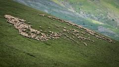 Alpages en Isère (pascal548) Tags: animal mouton isère