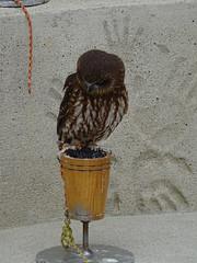 DSC07618 (guyfogwill) Tags: 2018 birds boobookowl brandonsbirthday devon gbr guyfogwill may owls paignton unitedkingdom paigntontorquay