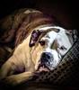 """I'VE HAD BETTER DAYS."" (panache2620) Tags: dog canine pooch ella sad portrait faithful trusting devoted devotion eos pet canon animal domesticated"