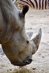 Southern White Rhinoceros (kimkullman) Tags: animal mammal rock grass rhino rhinoceros