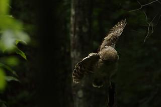 Fledgling Barred owl