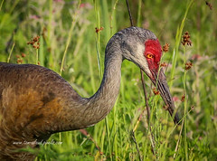 Focused Crane (tclaud2002) Tags: crane sandhillcrane bird wildlife animal outdoors nature mothernature pineglades naturalarea pinegladesnaturalarea jupiter florida usa