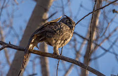 Great Horned Yoga...stretch to the left (Grand-duc d'Amérique) (miro_mtl) Tags: arbres attente bubovirginianus chateauguay d7200 grandducdamérique hibou nikon nikond7200 outdoors tamron tamronsp150600mm america amerique bird birdofprey bleu bluesky canada ciel claws greathornedowl look monteregie nature oiseau oiseaudeproie owl printemps quebec raptor sky spring trees waiting wildlife