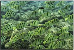 _DSC8248-aa (tellytomtelly) Tags: maui hawaiianislands fish tang convicttang