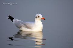 IMG_5398 Brown-headed Gull (Chroicocephalus brunnicephalus) (vlupadya) Tags: greatnature animal aves fauna indianbirds brownheaded gull chroicocephalus kundapura karnataka