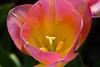 Pink (StephanExposE) Tags: paris iledefrance france stephanexpose vincennes parc park parcfloraldeparis flower fleur nature tulipe canon 600d 100mm 100mmf28lmacroisusm