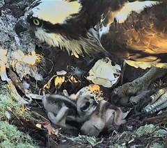 Osprey chicks at Hog Island 2018-06-03 05-21-01-342 (selro4me) Tags: ospreycams osprey raptor birdofprey fisheagle fishhawk nest eggs steve rachel island maine bailey hogisland audubon bremen usa