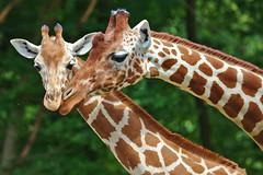 EOS 6D Mark II_1121 (Dave Melling) Tags: somaligiraffe giraffacamelopardalisreticulata reticulatedgiraffe brno zoo
