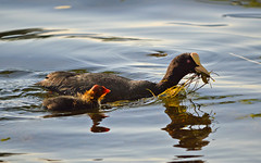 Common coot with chick. Finland, summer (L.Lahtinen (nature photography)) Tags: finland summer commoncoot chick lake 100lintulajia birdlife nature wildlife nikond3200 nikkor55300mm naturephotography light evening duckling suomi fauna cute adorable luonto luontokuvaus waterfowl vesilinnut cutie europe linnut järvi kesä nokikana eurasiancoot coot reflections heijastukset fun family