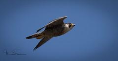 peregrine falcon ,Derbyshire (tsd17) Tags: wildlife ngc fantasticwildlife uk birds peregrine falcon canon7dmk11 derbyshire urban