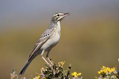 Tawny Pipit // Petinha-dos-campos (jvverde) Tags: petinhadoscampos tawnypipit anthuscampestris bird birds ave aves avifauna nature natureza