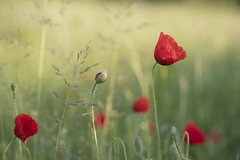 Le temps des coquelicots ***--+° (Titole) Tags: poppies field titole nicolefaton shallowdof red green storybookwinner thechallengefactory 15challengeswinner