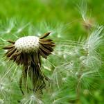 Dandelion seed head - Tête de pissenlit en graines thumbnail