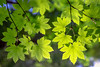 Spring Leaf Dappled Light (optimalfocusphotography) Tags: northerncalifornia california usa landscape tree nature nationalpark telephoto spring humboldtcounty backlight bokeh