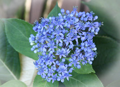 Oriental hydrangea .  Dichroa versicolor (Uhlenhorst) Tags: 2018 australia australien plants pflanzen flowers blumen blossoms blüten travel reisen