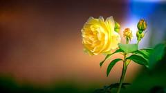 Rose - 5283 (YᗩSᗰIᘉᗴ HᗴᘉS +17 000 000 thx) Tags: fuji fujifilmgfx50s fujifilm rose flower yellow flora hensyasmine namur belgium europa aaa namuroise look photo friends be wow yasminehens interest intersting eu fr greatphotographers lanamuroise tellmeastory flickering