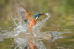 Kingfisher (Alcedo atthis) - Success 500_2119-2.jpg (Mobile Lynn) Tags: wild kingfisher birds nature aves bird chordata coraciiformes fauna wildlife otterbourne england unitedkingdom gb coth5 ngc npc
