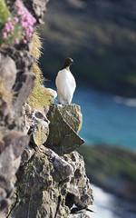 M2309113 E-M1ii 300mm iso200 f5.6 1_400s SingleAF (Mel Stephens) Tags: 20180530 201805 2018 q2 10x16 5x8 tall olympus mzuiko mft microfourthirds m43 300mm pro omd em1ii ii mirrorless crawton fowlsheugh aberdeenshire scotland uk coast coastal guillemot guillemots animal animals nature wildlife fauna bird birds