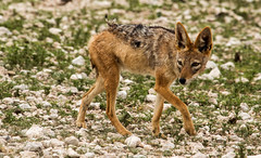 Jackal (zimbart) Tags: etosha namibia okaukuejo africa fauna vertebrata mammals carnivora canidae canis canismesomelas blackbackedjackal
