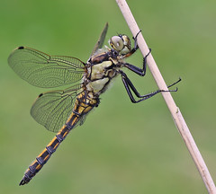 Black-tailed Skimmer (Roger H3) Tags: insect odonata dragonfly skimmer black tailed