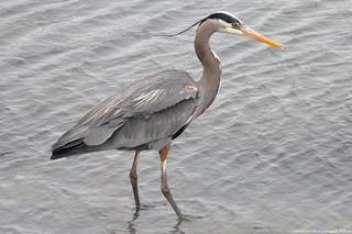 2017-04-23 Great Blue Heron (04) (2048x1360)