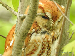 Screech Owl (carolinawren2) Tags: owls strigiformes strigidae ohio maumeebay birds birding