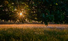Evening in the meadow (Peter Quinn1) Tags: meadow ibstonecommon oxeyedaisies buckinghamshire ibstone sunburst