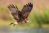 Snail Kite #1 (hetrickwesley) Tags: 150600 2018 80d canon florida gainesville june paynesprairie sigma sigmalens sweetwaterwetlands snailkite bird large raptor kite