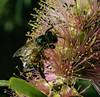 Pollinator Pollinating (Bill Gracey 19 Million Views) Tags: bee honeybee callistemonhybrid nature naturalbeauty naturephotography macrolens macrophotography offcameraflash yongnuo yongnuorf603n softbox lastoliteezbox lakeside garden hedge red color colorful