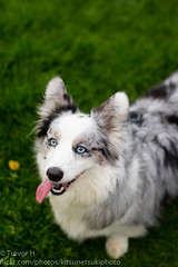 Just Sitting (Kenjis9965) Tags: sigma50mmf14dgex cardigan welsh corgi outside playing ball purple resting blue merle beautiful sunlit having fun bouncing jumping canon eos 7d mark ii panting tongue out sitting up running after sigmalux sigma 50mm f14 ex dg hsm