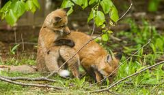 IMGL1514 Pugwash Red Fox Kit(s) (Wallace River) Tags: foxes novascotia pugwashfoxes redfoxes