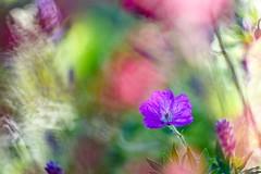 My pastel garden. (agnieszka.a.morawska) Tags: summer flower garden blur pastel macro dof bkhq beyondbokeh bokehlicious bokeh